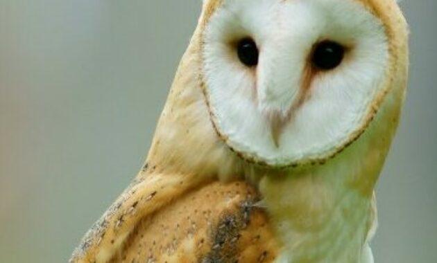 9 Jenis Burung Hantu Yang Paling Populer Di Dunia