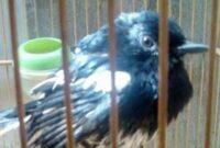 burung-mabung
