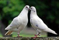 burung-merpati