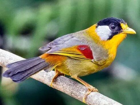 burung-panca-warna