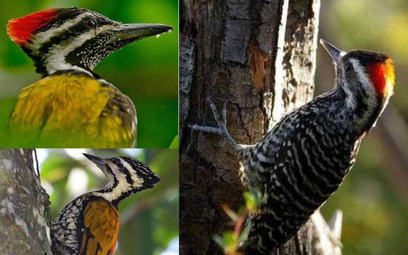 3 Jenis Pelatuk Terbaik Untuk Burung Masteran Suara Isian Khas