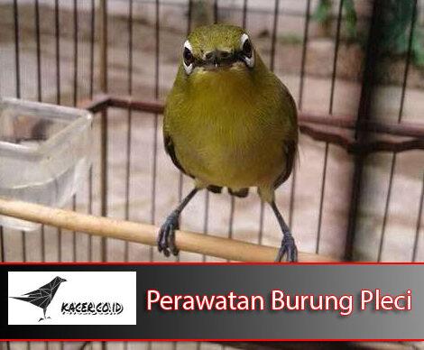 Cara Mudah Merawat Burung Pleci Si Mungil Kacamata Agar Gacor