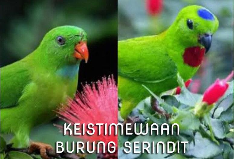 burung-serindit