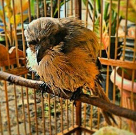 burung-stres