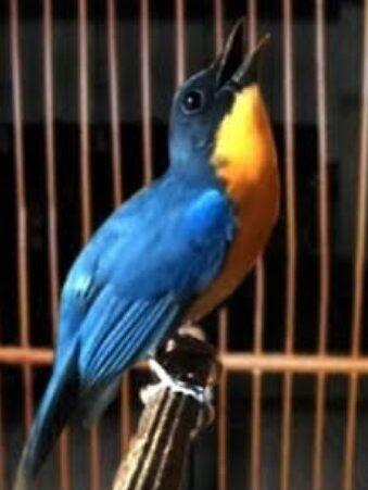 burung-tledekan