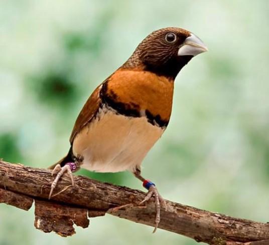 chestnut-breasted-mannikin