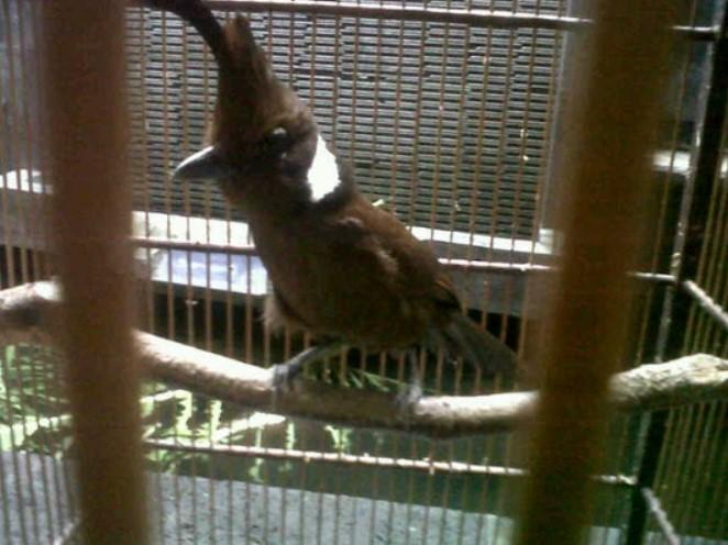 Jenis Burung Cililin Perawatan Habitat Dan Harga