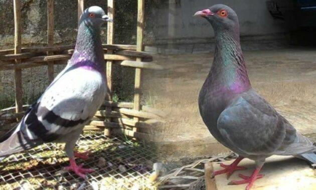 ciri-ciri-burung-merpati-berkualitas