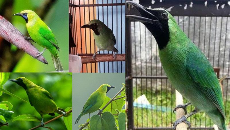 Mengenal 5 Jenis Burung Cucak Ijo Terbaik Di Indonesia