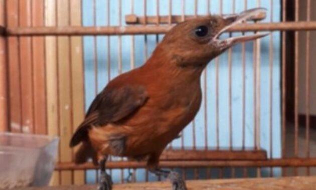 Mengenal Jenis Burung Cucak Rowo Terbaik Dan Terpopuler
