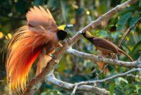 habitat-burung-cendrawasih