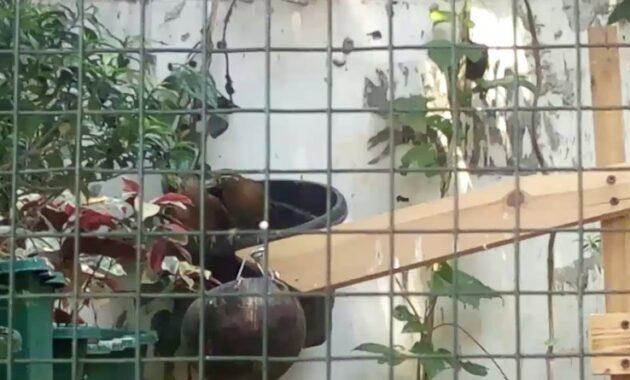kandang-reproduksi-wambi