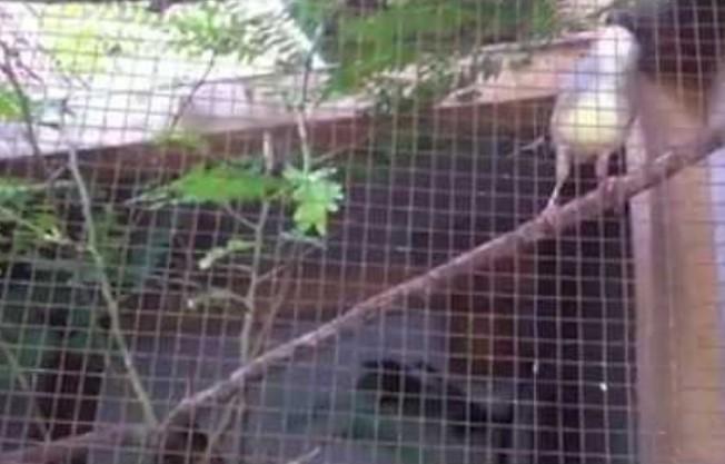 Cara Mudah Ternak Burung Ciblek