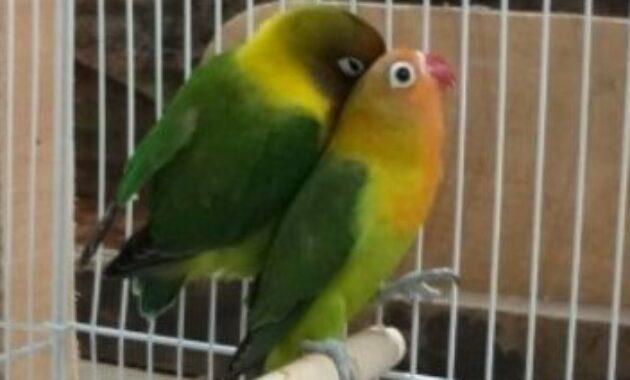 lovebird-jodoh
