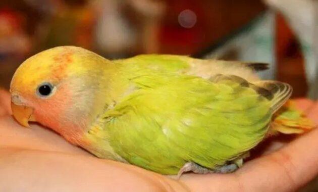 lovebird-lumpuh