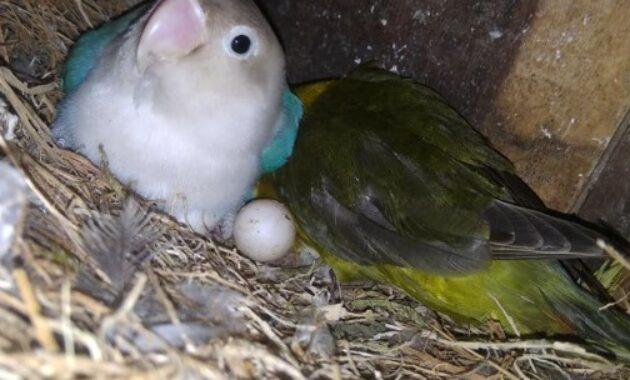 lovebird-ngerem