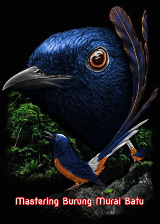 Cara Mudah Mastering Burung Murai Batu Agar Isian Cepat Masuk