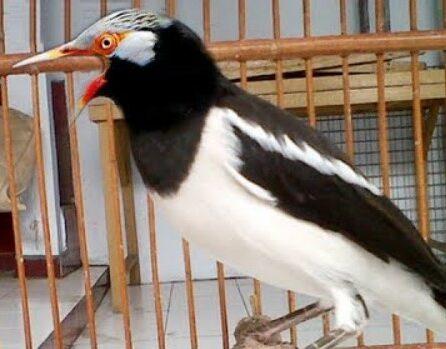 spesifikasi-burung-jalak-suren