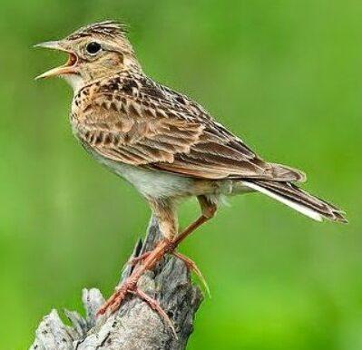 Mengenal Jenis Burung Branjangan Habitat Makanan Suara