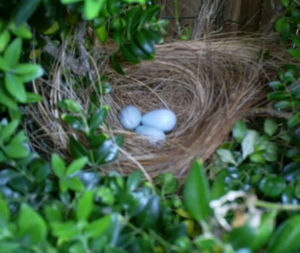 telur-burung-poksay