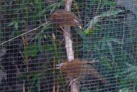 ternak-wambi