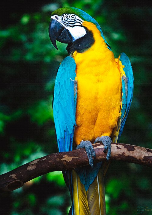 Blue-Gold-Macaw