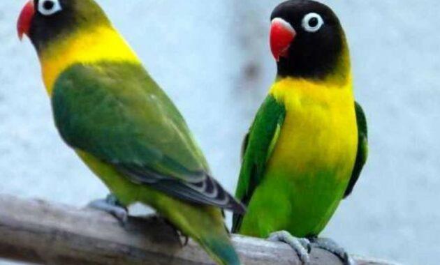 Burung-Dakocan-Ijo