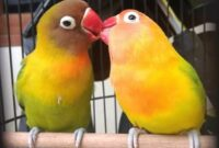 Cara-Menjodohkan-Lovebird