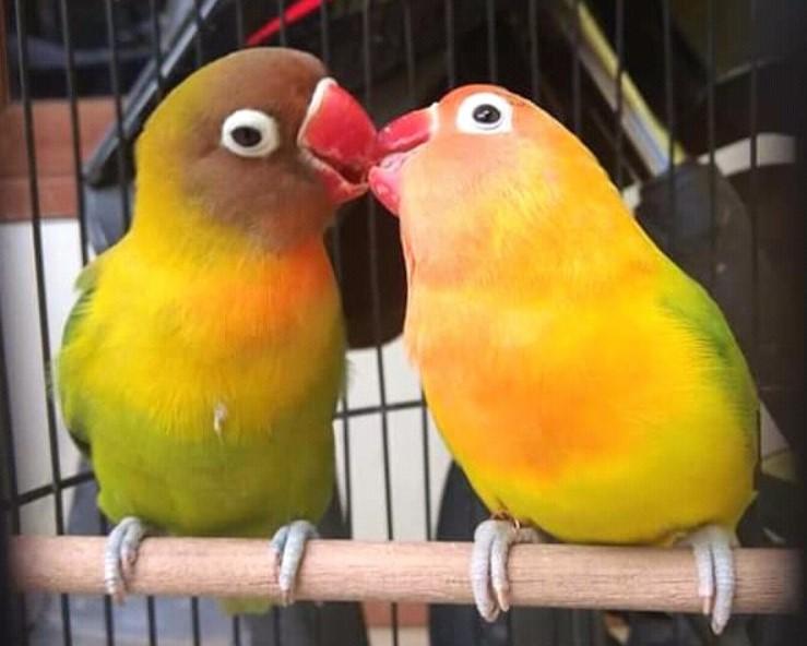 Tips Mudah Cara Menjodohkan Lovebird Yang Berbeda Umur Warna