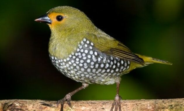 Mengenal Jenis Burung Emprit Harga Dan Suara