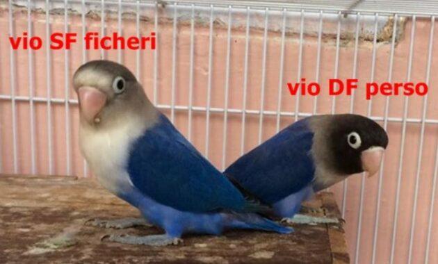 Jenis-Violet-SF-dan-Violet-DF