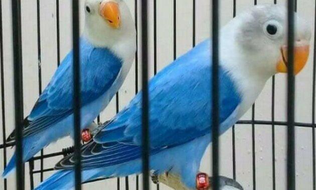 Lovebird-Biola