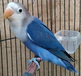 Lovebird-Mangsi-FC