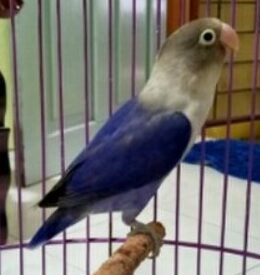 Lovebird-Mangsi-SF