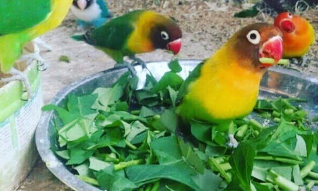 Makanan-Lovebird-Biar-Gacor