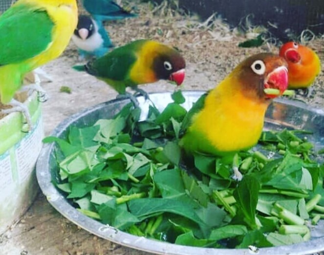 Makanan Lovebird Biar Gacor Dan Ngekek Panjang