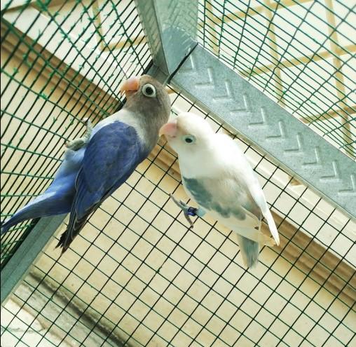 Mendekatkan-burung-jantan-dan-betina