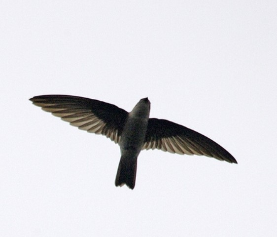 Jenis Burung Walet