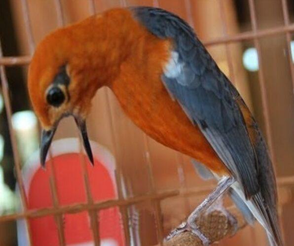 burung-anis-merah