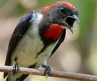 Mengenal Jenis Burung Cabe Cabean Atau Kemade