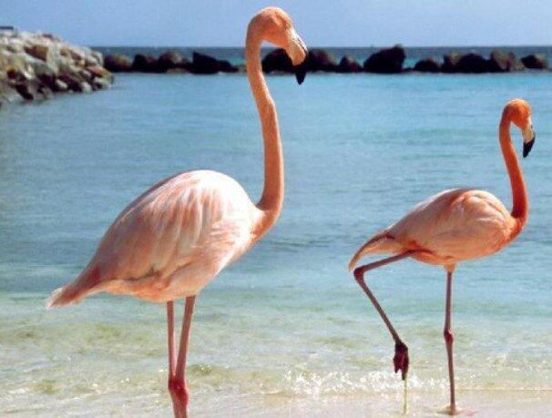 burung-flamingo