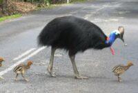 burung-kasuari