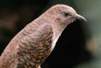burung-kedasih
