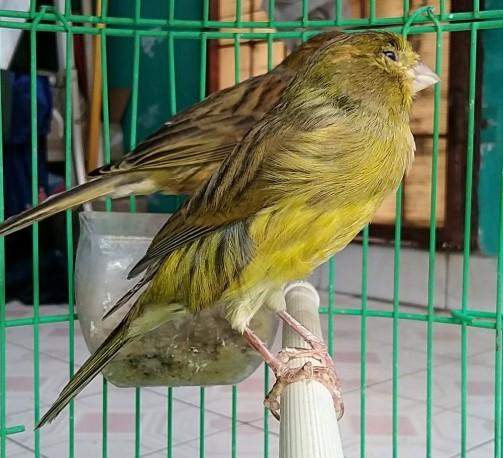 burung-kenari-af