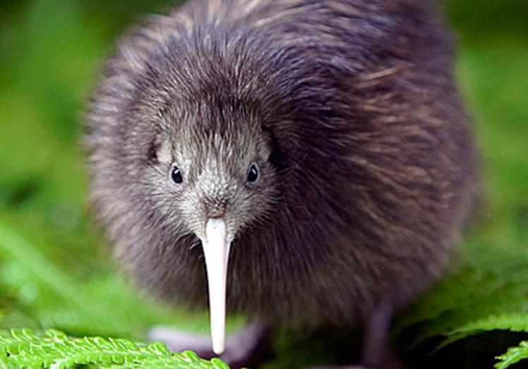 Mengenal Ciri Burung Kiwi Beserta Habitat Di Alam Liar