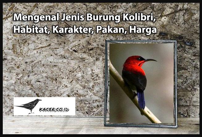 Mengenal Jenis Burung Kolibri Habitat Karakter Pakan Harga