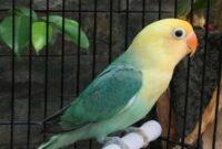 burung-lovebird-PB