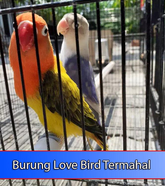 burung-lovebird-termahal