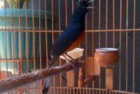 burung-murai