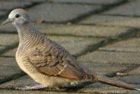 burung-perkutut